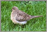 Back Yard Birds - Young Mourning Dove - ydove.jpg
