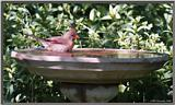 July Birds -- cardinals --> Northern Cardinal