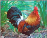 Re: || Does anyone have any chicken or rooster photos ||