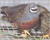 Chinese Painted (Button) Quail