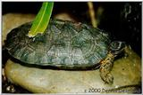 wood turtle - adult