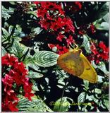 Cloudless Sulfur butterfly - Sulfur.jpg