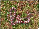 Coastal Plains Milk Snake