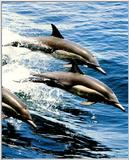Common Dolphin 1/3 jpg
