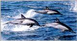 Common Dolphin 2/3 jpg