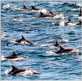 Common Dolphin 3/3 jpg
