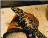 Black and white tegu (Tupinambis teguixin)