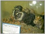 common gerbils