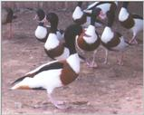 Waterfowl: Common Shelducks