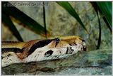Common or redatil boa