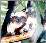 cotton head tamarin: Cottontop Tamarin