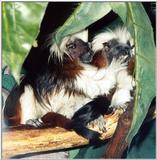 cotton head tamarin 3: Cottontop Tamarin