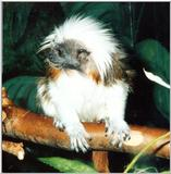 cotton head tamarin 2: Cottontop Tamarin