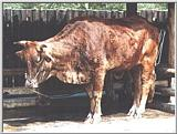 Korean Cattle (Bos taurus) (한우)