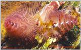 A christmas tree worm from Cozumel w/signature