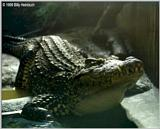 Cuban Crocodile  ( C. rhombifer )