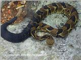 Timber Rattlesnake Yellow Phase