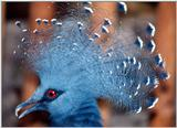 another unknown bird -- Victoria Crowned Pigeon, Goura victoria