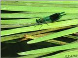 Banded Demoiselle (2nd try)
