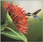 Hummingbird - Cuban Bee Hummingbird 01