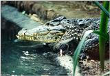 An Unhappy Cuban Crocodile