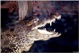 Another Happy Cuban Crocodile