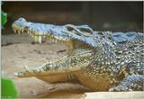 Cuban Crocodile  (Close-up)