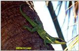 Cuban Knight Anole File 1 of 2 - CubanKnghtAnole3.jpg (0/1)