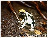 Re: Blue poison dart frog