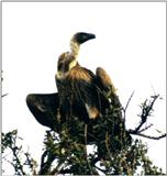 (P:\Africa\Bird) Dn-a0137.jpg (African White-backed Vulture)