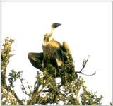 (P:\Africa\Bird) Dn-a0138.jpg (African White-backed Vulture)