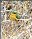 (P:\Africa\Bird) Dn-a0161.jpg (Little bee-eater)