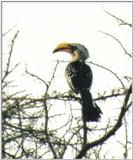 (\Africa\Bird) Dn-a0188 - Southern Yellow-billed Hornbill