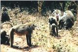 (P:\Africa\Primate) Dn-a0708.jpg (Olive Baboons)