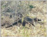 (P:\Africa\Weasel) Dn-a0879.jpg (Banded Mongoose)