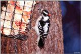 Downy Woodpecker (Picoides pubescens) [male]