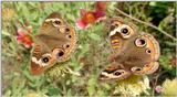 Buckeye Butterfly Mating Pair