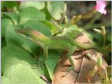 Common Anole