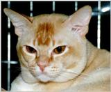 Red European Burmese Cat