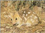 Eastern Quoll (J01)