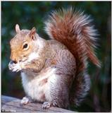 Eastern Gray Squirrel - Eastern Gray Squirrel403.jpg