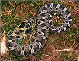 Eastern Hognose Snake (black color phase) 1