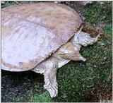 Eastern spiny softshell (Apalone spinifer spinifer)