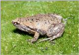 Eastern Narrowmouth Toad (Gastrophryne carolinensis)