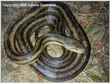 Greenish Rat Snake Intergrade