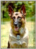Re: need pics of military dogs (german shepard)
