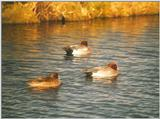 Birds from the Netherlands - eurasian wigeons3.jpg