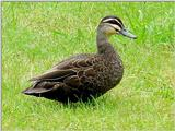 Australian Wood Duck Teal  1/2 JPG