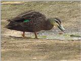 Australian Wood Duck Teal  2/2 JPG