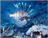 Great photo of a Lionfish taken in Fiji